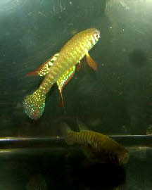 Simpsonichthys zonatus